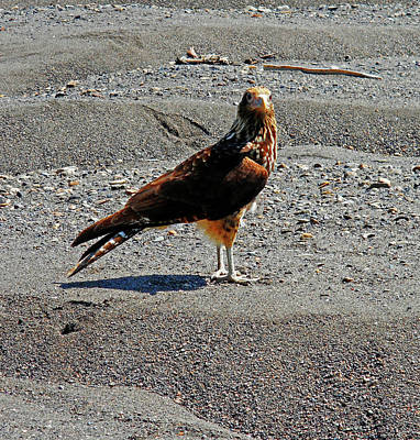 Photograph - Hawks 1 by Ron Kandt