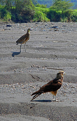 Photograph - Hawks 2 by Ron Kandt