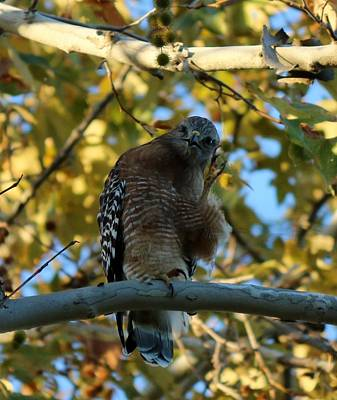 Photograph - Hawk's Hello  by Christy Pooschke