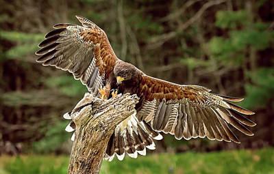 Harris Hawk  - Hawk's Landing by Pat Eisenberger