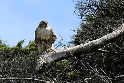 Photograph - Hawk's Perch by Christy Pooschke