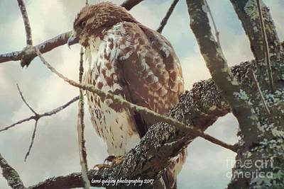 Photograph - Hawk's Winter Watch by Tami Quigley