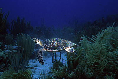 Photograph - Hawksbill Sea Turtle 1 by Pauline Walsh Jacobson