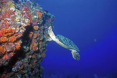 Photograph - Hawksbill Sea Turtle 10 by Pauline Walsh Jacobson