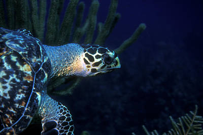 Photograph - Hawksbill Sea Turtle 2 by Pauline Walsh Jacobson