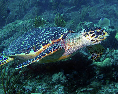 Photograph - Hawksbill Sea Turtle 3 by Pauline Walsh Jacobson