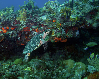 Photograph - Hawksbill Sea Turtle 4 by Pauline Walsh Jacobson