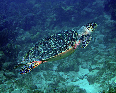 Photograph - Hawksbill Sea Turtle 5 by Pauline Walsh Jacobson