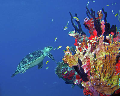 Photograph - Hawksbill Sea Turtle 6 by Pauline Walsh Jacobson
