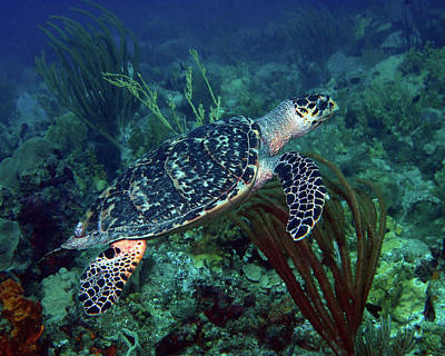 Photograph - Hawksbill Sea Turtle 7 by Pauline Walsh Jacobson