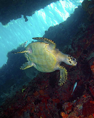 Photograph - Hawksbill Sea Turtle 8 by Pauline Walsh Jacobson