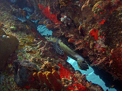 Photograph - Hawksbill Sea Turtle 9 by Pauline Walsh Jacobson