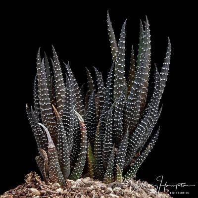 Photograph - Haworthia Attenuata Cactus - 0519,s by Wally Hampton