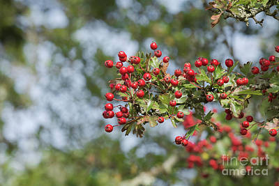 Photograph - Hawthorn Berries by Terri Waters