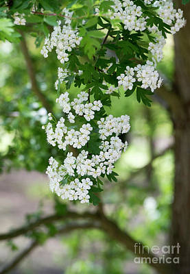 Photograph - Hawthorn Blossom by Tim Gainey