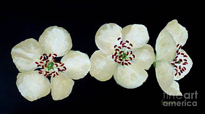 Painting - Hawthorn Flowers by Barbara Moignard
