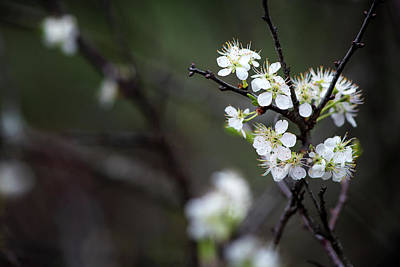 Photograph - Hawthorn by Linda Shannon Morgan