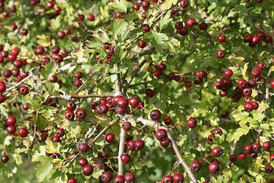 Photograph - Hawthorn Photo A by Julia Woodman