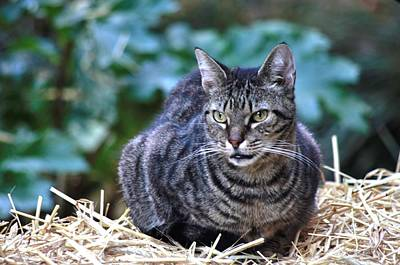 Photograph - Hay Cat by Buddy Scott