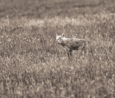 Photograph - Hayden Valley Coyote by Dan Sproul