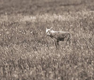 Photograph - Hayden Valley Coyote by Dan Sproul