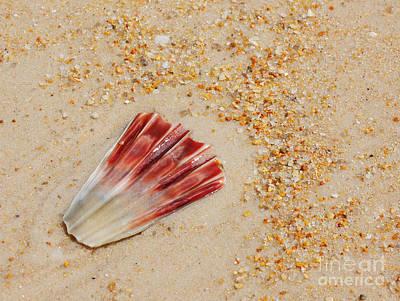 Photograph - Hazzards Beach Sea Shell by Lexa Harpell