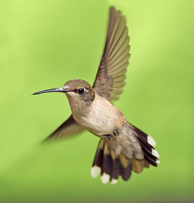 Hummingbird Photograph - HB2 by Kitty Ellis