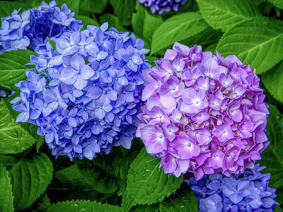 Hydrangea Photograph - Hdr Blue And Lavender by Aimee L Maher Photography and Art Visit ALMGallerydotcom