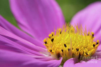 Photograph - He Loves Me He Loves Me Not Pink Daisy Yellow Center by David Zanzinger