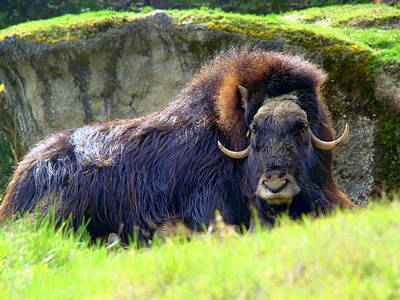 Photograph - He Ox by Lisa Rose Musselwhite