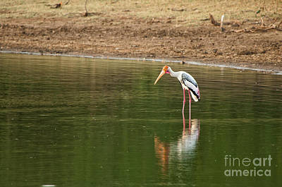 Photograph - The Painted Stork  Mycteria Leucocephala  by Venura Herath