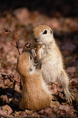 Round-tailed Ground Squirrel Photograph - He Started It by Emily Bristor