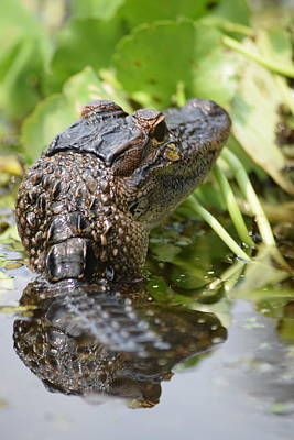 Photograph - Head High Alligator by Sheri McLeroy