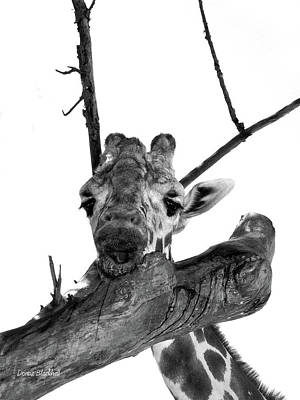 Photograph - Head In The Trees by Donna Blackhall