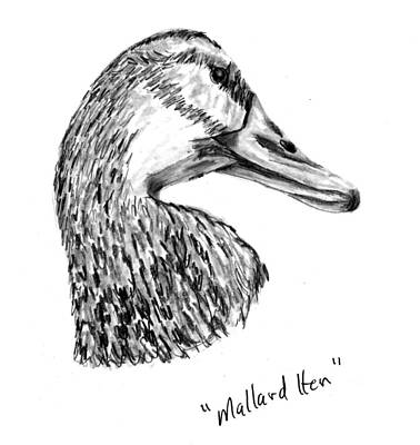Drawing - Head Of A Mallard Hen by Kevin Callahan
