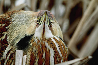 Photograph - Head On Bittern by Craig Strand