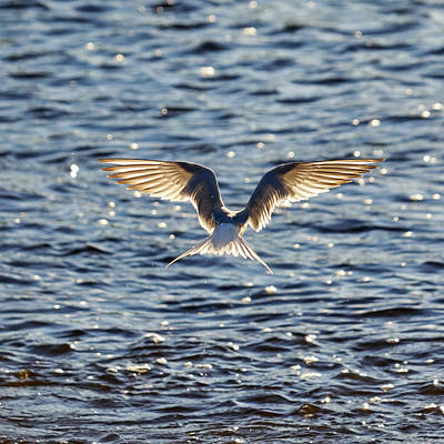 Photograph - Headless. Common Tern by Jouko Lehto