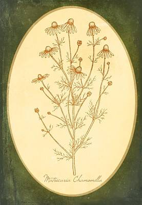 Healing Medicinal Herb Chamomile Art Print by Little Bunny Sunshine