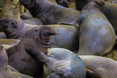 Cambria Photograph - Heard Of Elephant Seals by Garry Gay