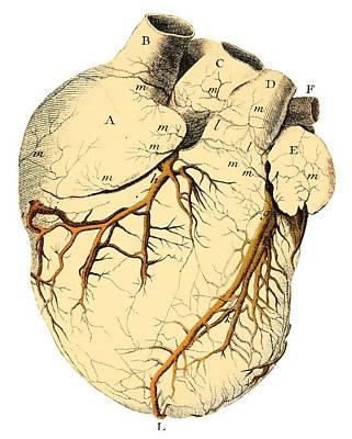 Heart Anatomy, 18th Century Print by