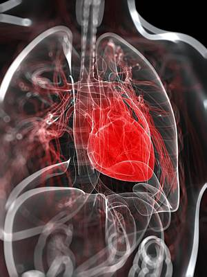 Physiology Digital Art - Heart Anatomy, Artwork by Sciepro