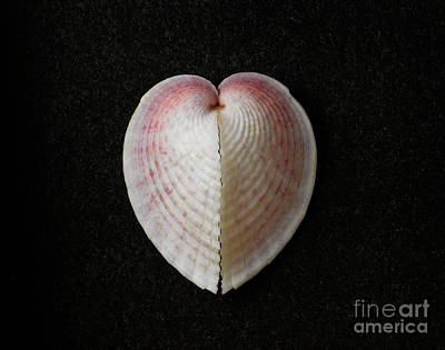 Heart Cockle Art Print