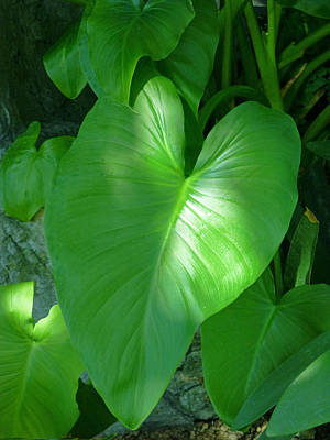 Photograph - Heart Leaf by Claudia Goodell