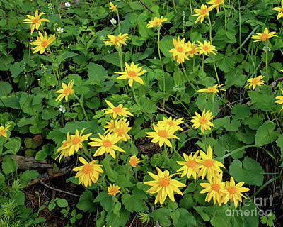 Photograph - Heart Leafed Arnica by Roxie Crouch