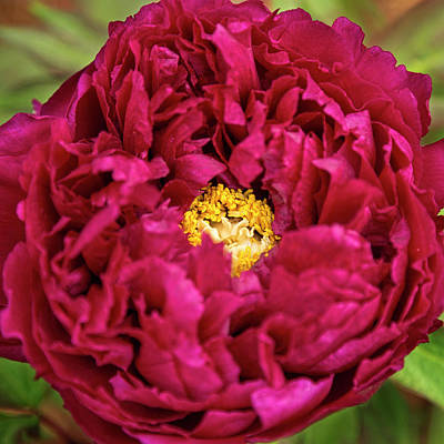 Photograph - Heart Of A Peony by Jemmy Archer