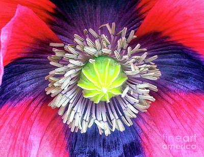 Photograph - Heart Of A Poppy by Lynn Bolt