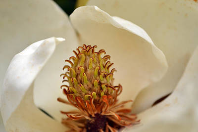 Photograph - Heart Of Magnolia by Larry Bishop
