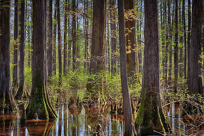 Photograph - Heart Of The Swamp by Susan Rissi Tregoning