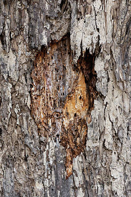 Photograph - Heart Of Trunk by Kiran Joshi