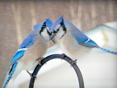 Bluejay Photograph - Heart To Heart by Karen Cook
